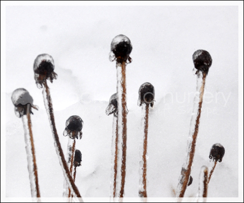 Ice Coved Coneflower