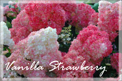 Strawberries And Cream Hydrangea Strawberry Hydrangea